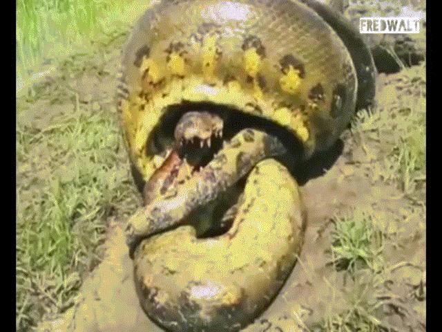 Bị trăn Anaconda khổng lồ siết, cá sấu tung đòn cuối cắn chặt đầu trăn