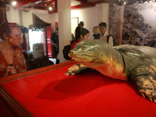 """Ngắm tiêu bản cụ rùa Hồ Gươm được """"bảo vệ"""" trong tủ kính bạc tỷ"""