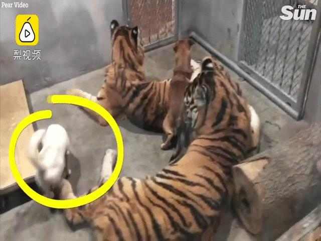 TQ: Thăm vườn thú, choáng với cảnh chó bị nhốt chung chuồng với hổ dữ