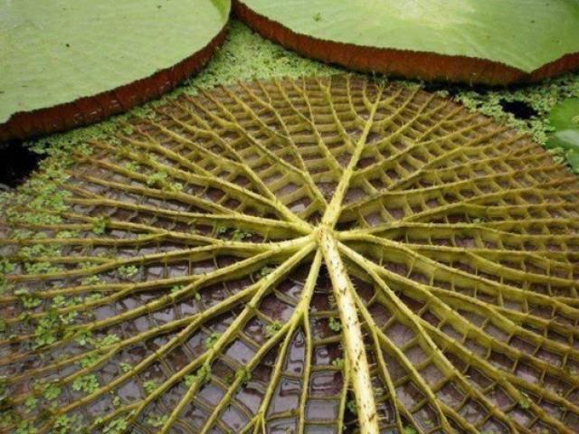 """Cây có lá """"siêu to khổng lồ"""", hoa đổi màu kì ảo, từng mọc dại, nay giá 2 triệu/cây"""