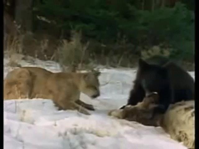 Lao ra toan cướp thức ăn của gấu đen, báo sư tử nhận cái kết không thể ngờ