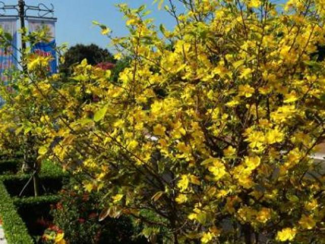 Hoa mai phủ vàng rực rỡ hơn 5km dải phân cách ở Bà Rịa – Vũng Tàu