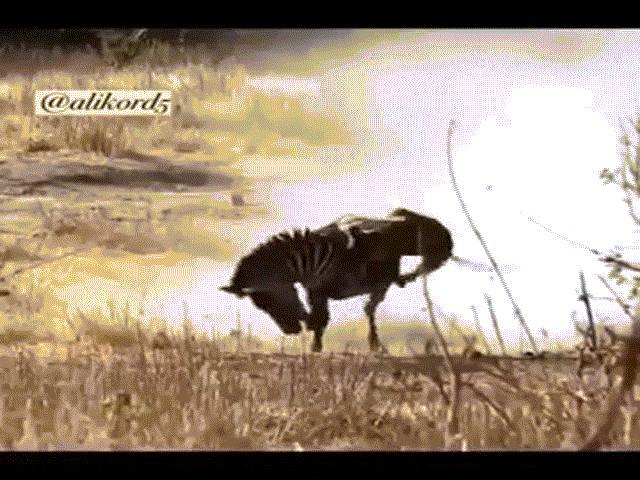 """Video: Tưởng vớ được miếng mồi ngon, sư tử bị ngựa vằn hành hạ """"thừa sống thiếu chết"""""""