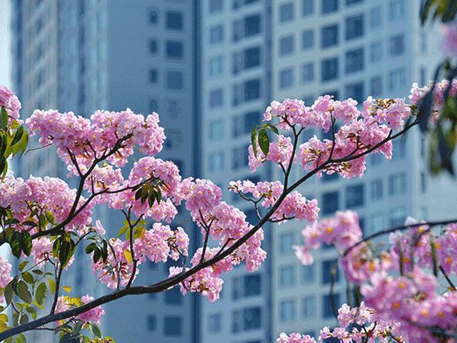 Ngây ngất với những con đường hoa đẹp như tranh giữa Sài Gòn