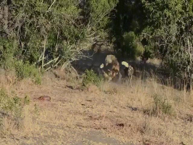 Video: Màn tranh mồi kịch tính giữa linh cẩu và bầy chó hoang