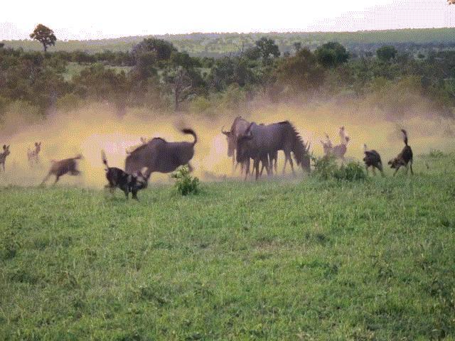 Video: Linh dương đầu bò dùng chiến thuật thông minh chống lại kẻ săn mồi