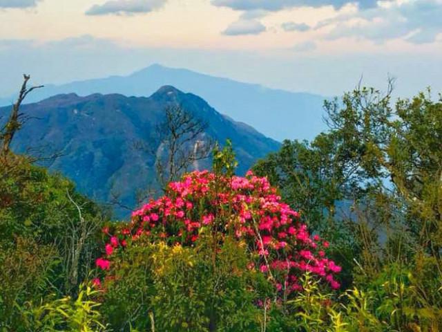 Mê mẩn ngắm hoa đỗ quyên cổ thụ trăm tuổi rực rỡ trên đỉnh Hoàng Liên Sơn