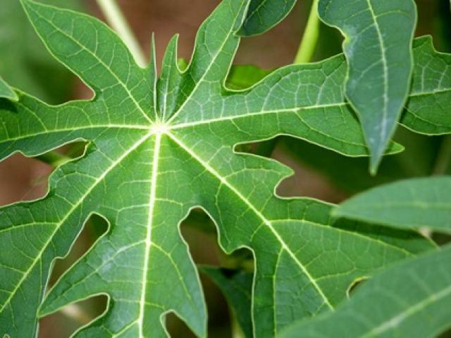 20 tác dụng chữa bệnh thần kỳ của loại lá đắng ngắt, 90% người Việt vứt bỏ