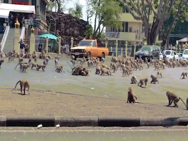Đàn khỉ hỗn chiến tranh thức ăn trên phố vì dịch Covid-19