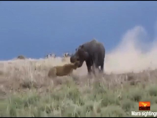 Video: Suýt bị hà mã ngoạm nát đầu, sư tử bỏ chạy trối chết