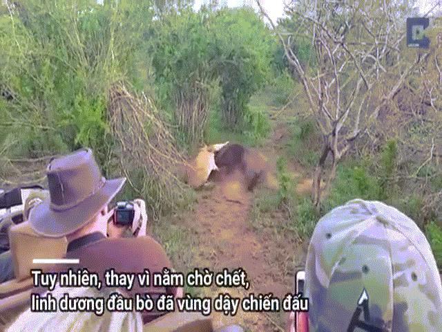 """Video: Bị cắn trúng cổ họng, linh dương đầu bò """"lật kèo"""" khiến sư tử điêu đứng"""