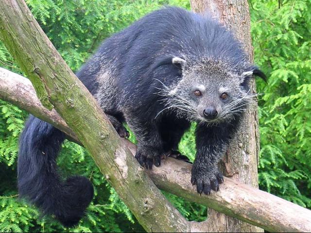 Sinh vật kỳ lạ giống gấu, khỉ, mèo và sở hữu mùi hương đặc biệt