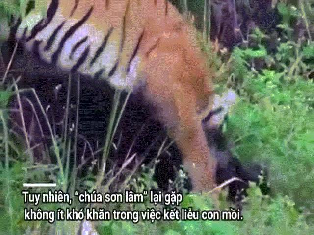 Video: Bị hổ dữ hạ gục bằng nhát cắn chí mạng, lợn rừng bật dậy phản đòn