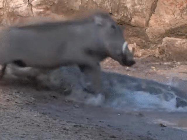 Lợn bướu nhanh chân né cú đớp chết người của cá sấu