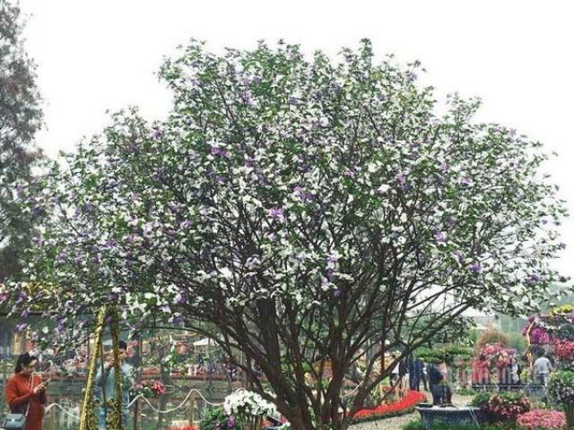 """Choáng váng cây hoa nhài Nhật """"khủng"""" hoa biến đổi màu sắc"""