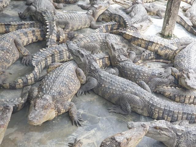 Nóng tuần qua: Cá sấu giá rẻ chưa từng có, hàng nghìn con bị bỏ đói kêu rên thảm thiết