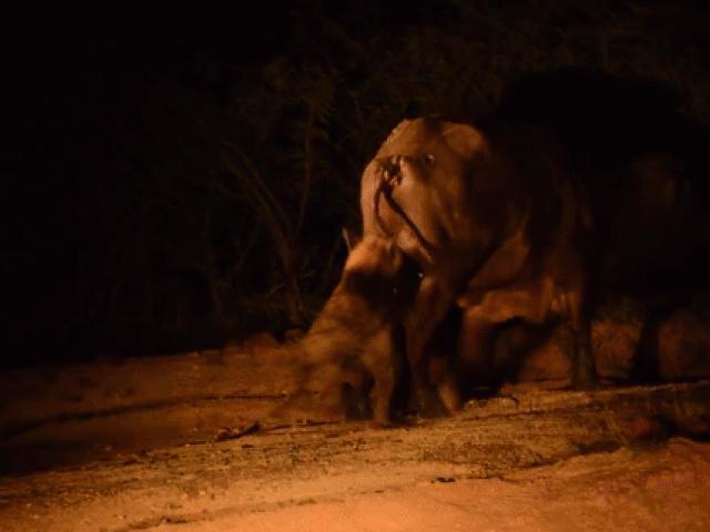 Trâu rừng khóc thét vì bị linh cẩu cắn trúng chỗ hiểm