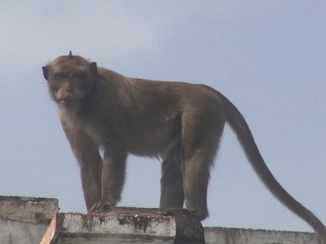 Cận cảnh đàn khỉ hơn 10 con trước khi bị bắn thuốc mê