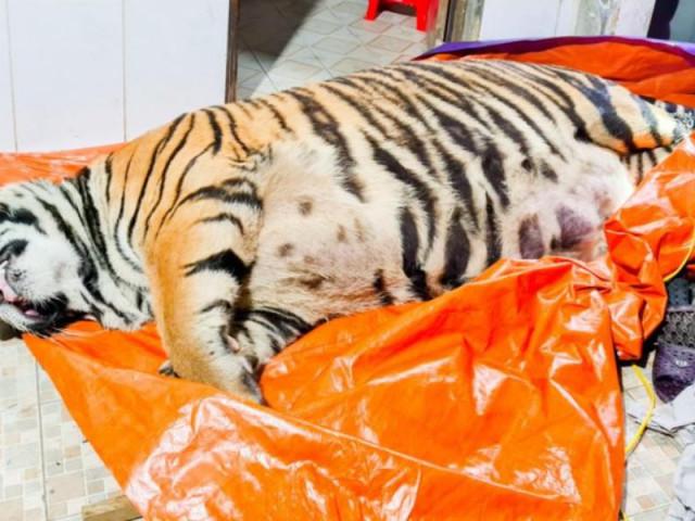 Một con hổ bị chích điện chết ở nhà dân: Chủ nhà khai gì?