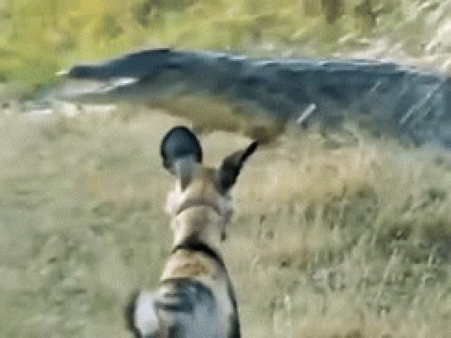Một mình cân hết đàn chó hoang hung hãn, cá sấu liều lĩnh khiến đối thủ phải kiêng nể