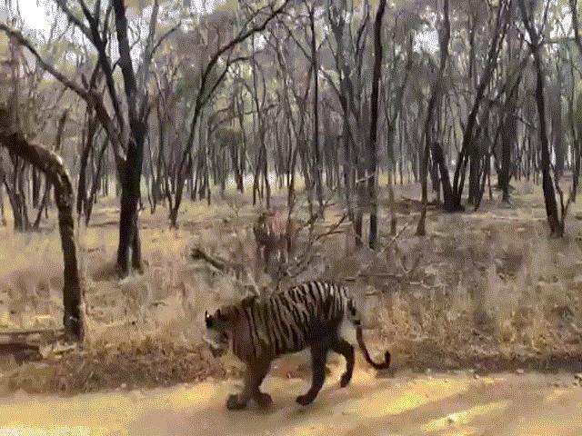Video: Khoảnh khắc hai con hổ to lớn lao vào kịch chiến và kết cục