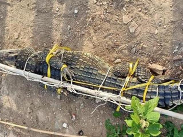 Vũng Tàu giăng lưới bắt được cá sấu dài 2m ở hồ nước