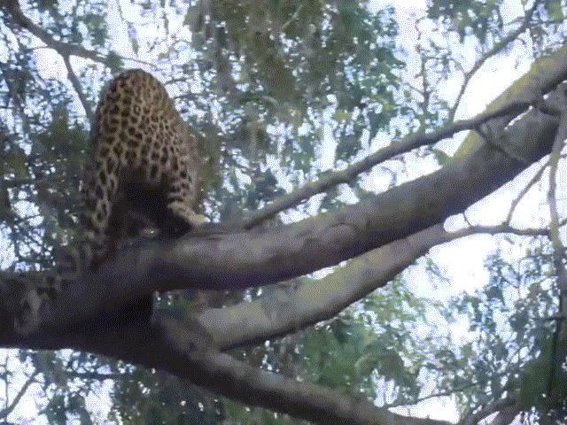 """Video: Mạo hiểm trèo cây định """"xử"""" khỉ đầu chó, báo gấm nhận cái kết nhớ đời"""