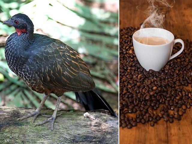 Món đồ uống có nguồn gốc từ phân chim, còn đắt hơn cả cà phê chồn
