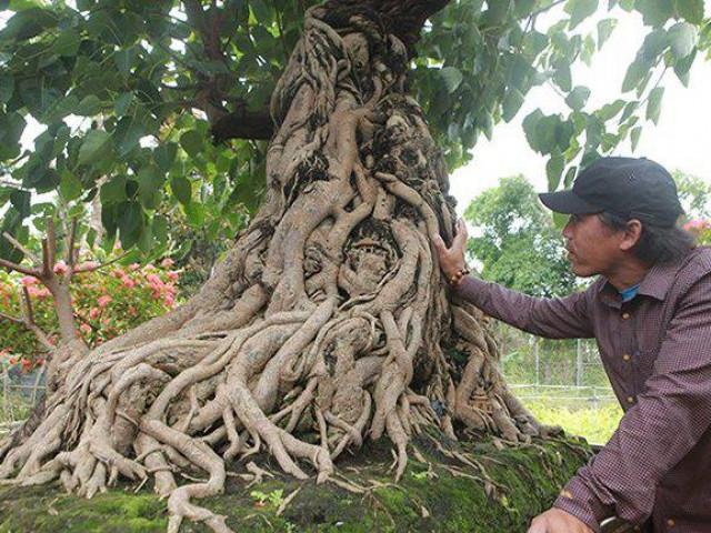 """Chiêm ngưỡng cây bồ đề có bộ rễ """"ảo diệu"""""""