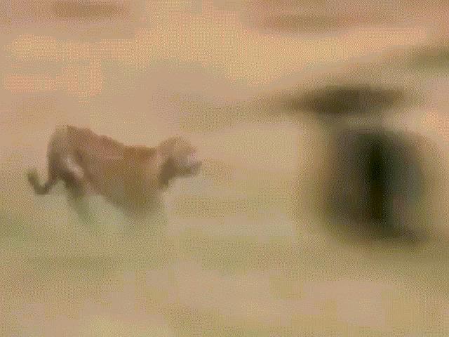 Video: Linh dương mẹ nổi cơn thịnh nộ, hất văng báo săn giải cứu con non ngoạn mục