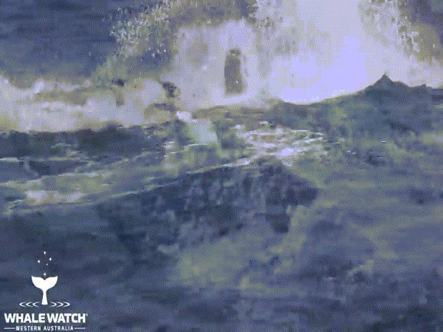"""Video: 15 con cá voi sát thủ """"đánh hội đồng"""" cá voi lưng gù và kết cục bất ngờ"""
