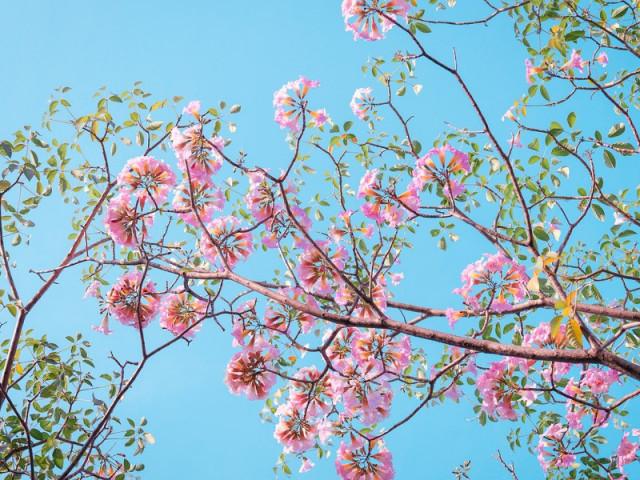 Hẹn hò Sài Gòn: Hoa kèn hồng nở sớm rực rỡ một khoảng trời, đẹp tựa như một thước phim