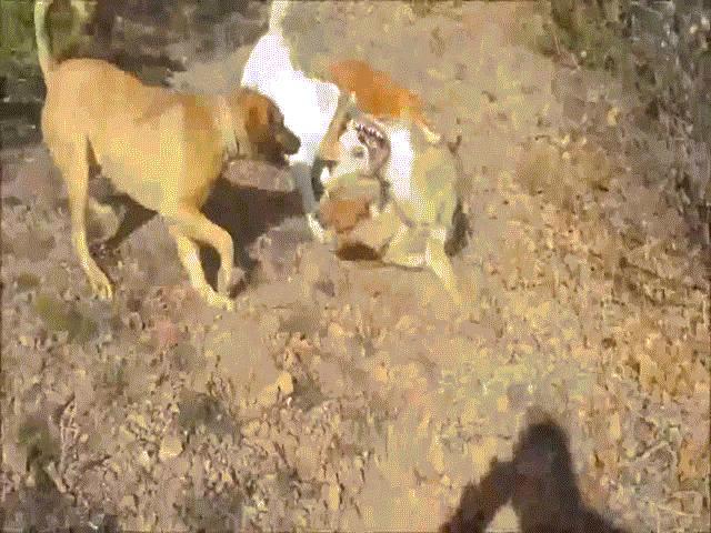 Video: 3 chó săn hung dữ thay nhau cắn xé sói, cái kết gây rùng mình