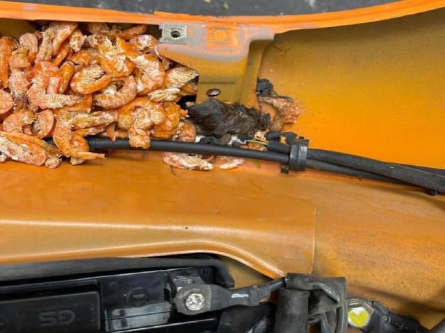 SỐC: Chuột tha cả cân tôm khô, tích trữ trong xe máy
