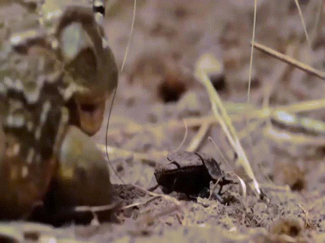 """Video: Ếch """"yêu tinh"""" lùa cả đàn bọ hung vào miệng trong """"tích tắc"""""""