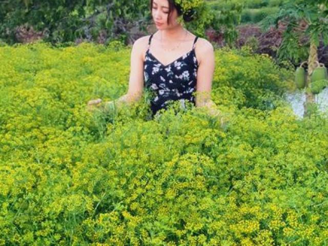 Ngỡ ngàng những cánh đồng hoa thì là tuyệt đẹp ở Bạc Liêu