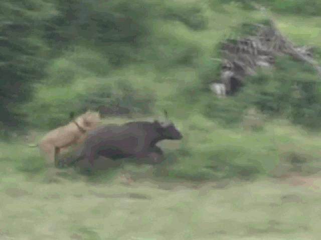 """Bị bầy sư tử """"truy cùng giết tận"""", trâu rừng dàn quân chống địch và cái kết"""