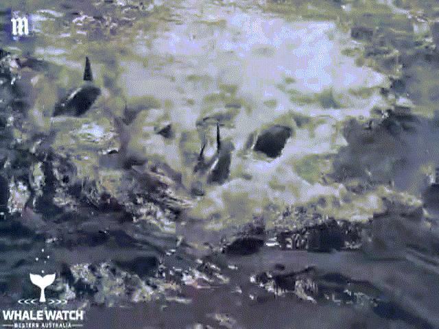 Video: Lạc vào lãnh địa 5 đàn cá voi sát thủ, cá voi xanh dài 15m nhận kết cục thảm khốc