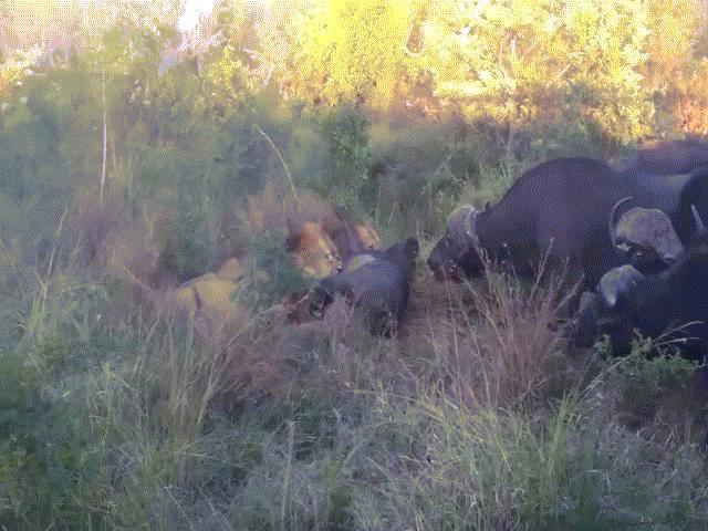"""Video: Sư tử lập hội """"500 anh em"""" đối đầu đàn trâu rừng và cái kết nhớ đời"""