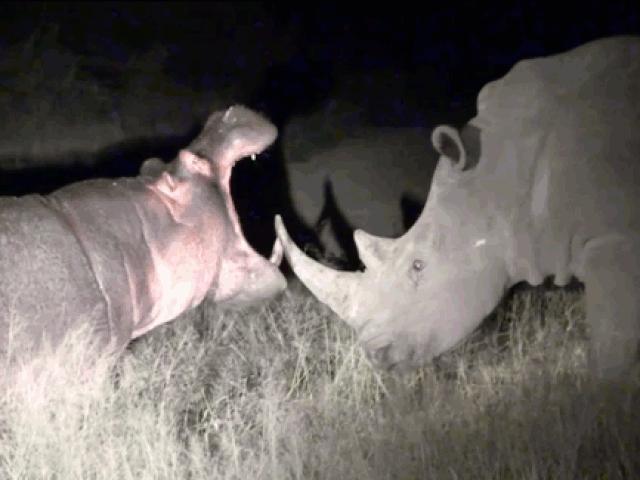 Hà mã lầy lội nhận bài học đắt giá vì cả gan chọc tức đàn tê giác