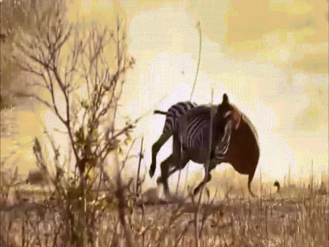 """Video: Bị sư tử đu bám trên lưng, ngựa vằn nhảy lồng lộn lên hành kẻ thù """"thừa sống thiếu chết"""""""