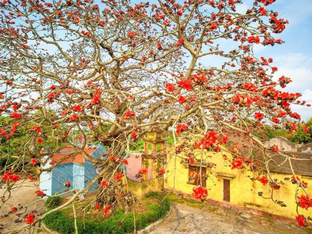 Choáng ngợp trước bộ ảnh hoa gạo đẹp đến nao lòng trên miền quê Thái Bình
