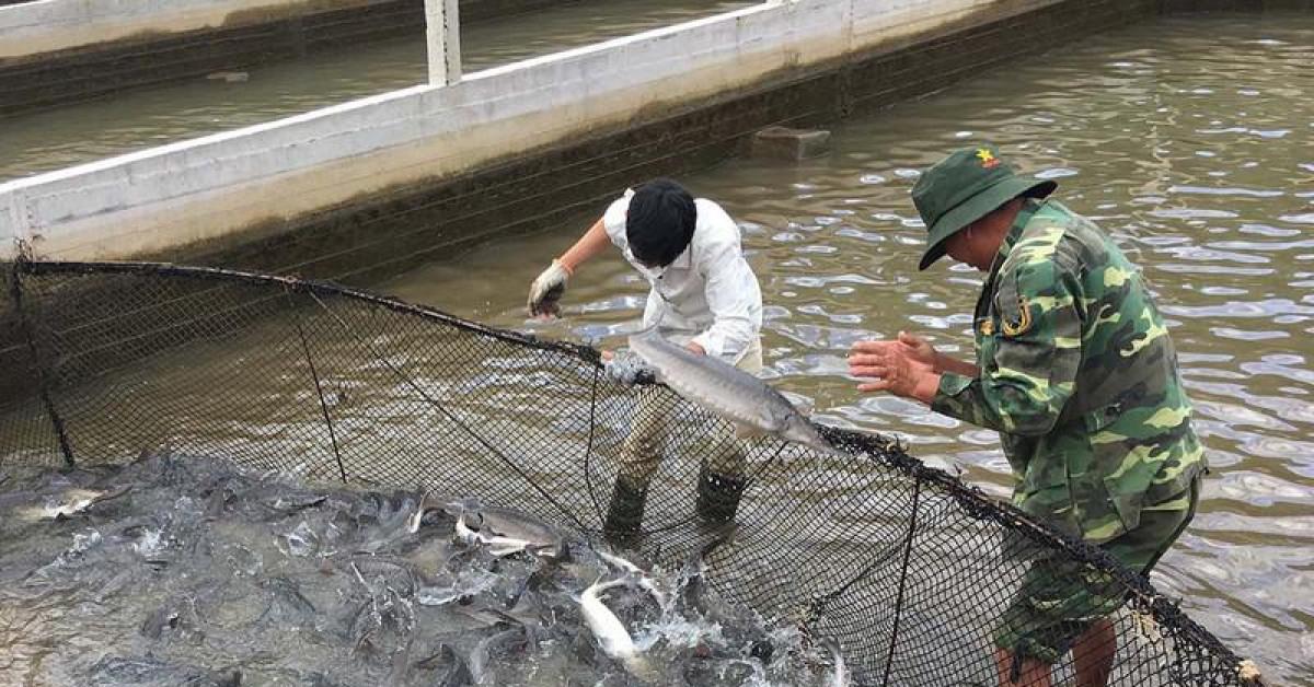Tự ý tung hàng chục tấn cá tầm Trung Quốc ra thị trường bán