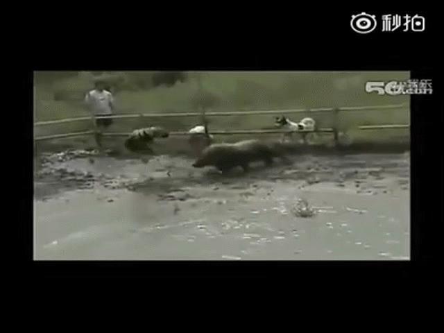 """Video: Lợn rừng bị nhổ 2 răng nanh vẫn khiến 3 con chó Pitbull sợ """"chạy mất dép"""""""