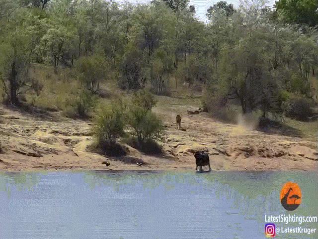 Video: Rơi vào thế 2 gọng kìm bởi cá sấu và sư tử, trâu rừng thoát thân ngoạn mục