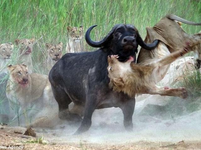 Trâu rừng 1 tấn húc thủng ngực sư tử hung hãn