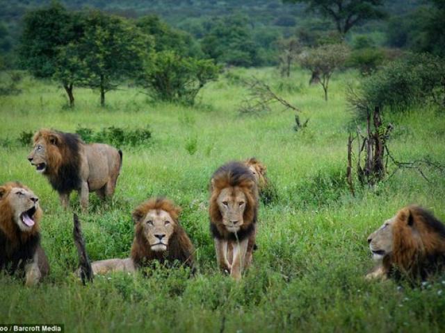 """""""Băng nhóm"""" sư tử cai quản 31.000m2 đất ở Nam Phi"""