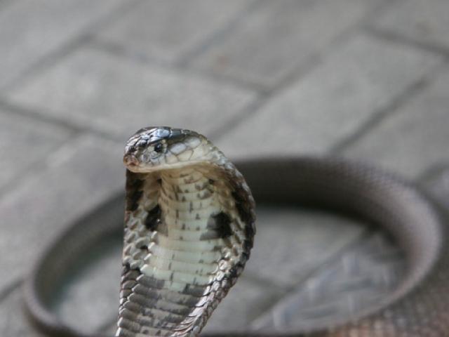 Nắng nóng bất thường, 700 người Malaysia bị rắn cắn