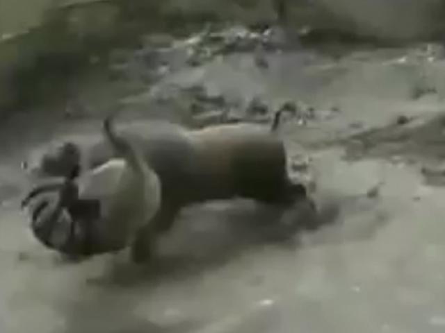 TQ: Lợn rừng mất nanh đại chiến 3 chó pitbull mặc giáp