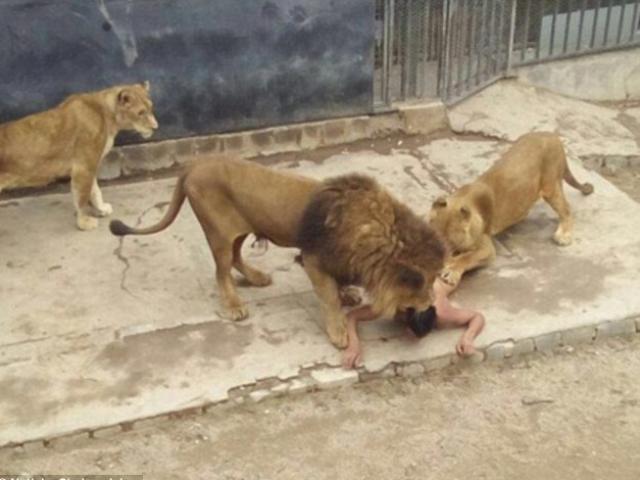 Chile: Chàng trai khỏa thân nhảy vào chuồng sư tử tự tử